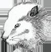 beaver-head